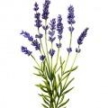 017-kerstin-luttenfeldner-carolineseidler_Servus_Lavender
