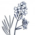 Sarah-Egbert-Eiersholt-carolineseidler-com-Brassicaceae